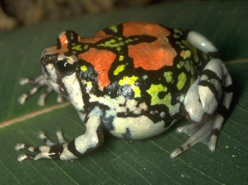 Madagascan Burrowing Frogs Care Sheet